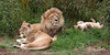 Second try at a family portrait.  At least I got three faces this time!<br />  (African Lion Pride: Sukari, Jahari & Jasiri, on his back.)