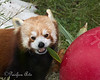Munch, munch, munch!    <br /> (Red Panda, Tenzing)
