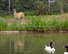 Baby Guanaco checks out those funny looking animals swimming in the pond.  (Black-necked Swans)