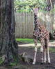Young Ingrid (Reticulated Giraffe)