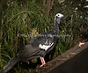 Blue-throated Piping Guan among the trees in the South American Tropical Rainforest & Aviary