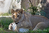 Adorably cute - but look at the size of those paws on this 1 year old!<br /> (African Lion, Jasiri)