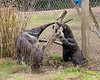 Evita and little Wayne looking for bugs in the crevices of the stump.  (Giant Anteaters)