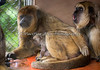 It appears the older sibling is announcing the arrival of a new baby brother or sister!  (Black Howler Monkey)