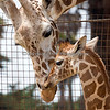 Mom, Barbro checks in on her baby, Ingrid.  (Reticulated Giraffes)