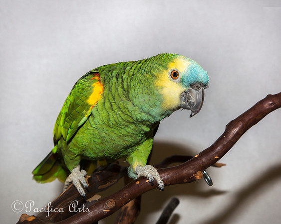 Maya, a Blue-fronted Amazon
