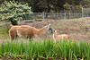 Guanaco, Milagro, checking on her new little baby girl.