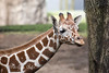 Eight month old Ingrid, a female Reticulated Giraffe.