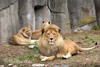 Family Portrait.  Well, almost...I got two out of three this time!<br /> (African Lions, Jahari, Jasiri and Sukari in the back)