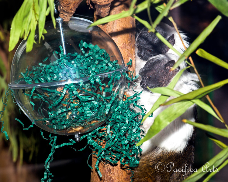 Two Pied Tamarins hunting for yummy mealworms in the enrichment ball.