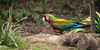 I don't see this bird on the ground very often!  (Hybrid Macaw, Irene)