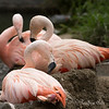 It's nesting time for the Chilean Flamingos!