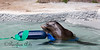 Henry's new enrichment toy floats, and has a long rubber-like ribbon attached - just the thing for a sight-impaired Sea Lion!  He played with it for a long time that day!  (California Sea Lion)