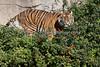 Jillian has discovered that surfing atop the shrubs is FUN!  (Sumatran Tiger)