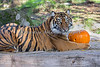 """Jillian & Pumpkin"" portrait, during Boo at the Zoo.  (Sumatran Tiger)"