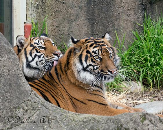 Jillian, always Leanne's little cub.  (Sumatran Tigers)