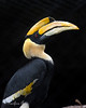 "That's one huge beak!  (Great Indian Hornbill, ""Hercules"")"
