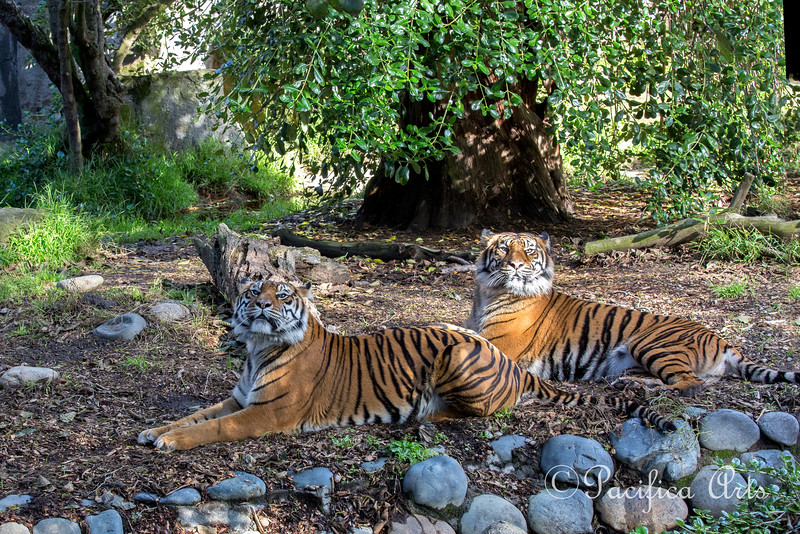 Leanne & Jillian, lounging around after playing with the pumpkins, during Boo at the Zoo.  (Sumatran Tigers)
