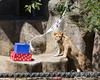 A present...for ME?!!!  (African Lion, Jasiri, at his 1st Birthday party)