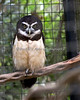 """""""Quetzal,"""" a Spectacled Owl.  He lives just across from the Family Farm."""