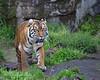 Sumatran Tiger, Leanne
