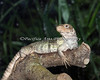 Honduran Spiny-tailed Iguana in the South American Tropical Rainforest & Aviary.