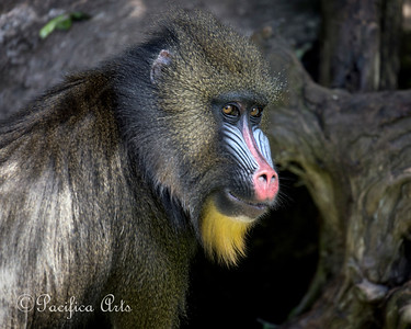 Female Mandrill, doing that really quick upwards glance!