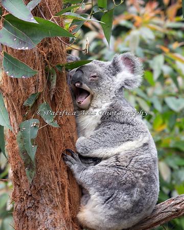 """""""Bwahahahaha!""""  (Koala)"""