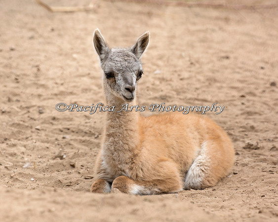 Sleepy baby  (Guanaco)