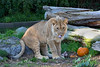 Jasiri has found the perfect place to sit!  (African Lion)