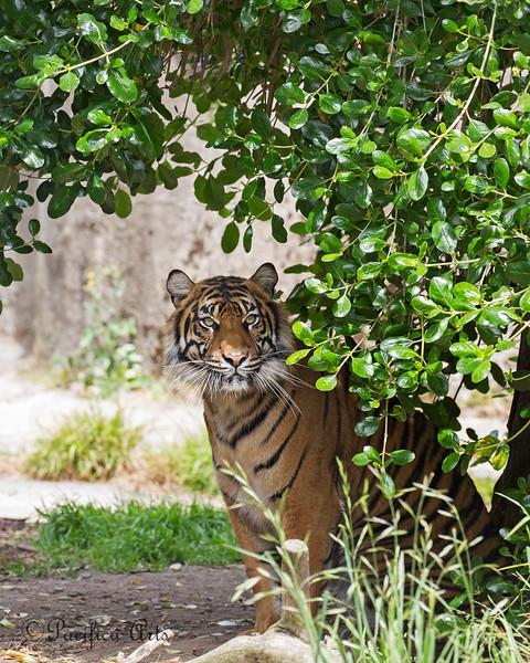 Sumatran Tiger, Jillian, standing under her favorite tree.
