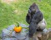 Hmmmm...very tasty!  (Western Lowland Gorilla)