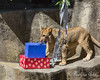 It's party time in the Lion yard!  Jasiri finds a couple of birthday presents, left for him by his Keepers, for his 1st Birthday.