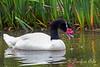 Female Black-necked Swan