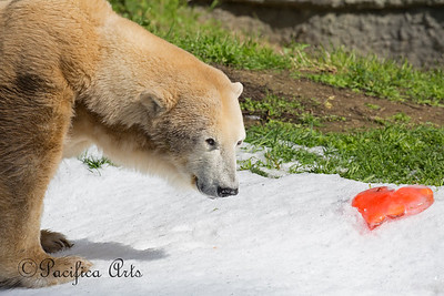 Thanks Keepers!  Uulu discovers a frozen heart with treats inside.  (Polar Bear)