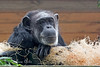 """""""Hey, you come here a lot, don't you?""""  (Chimpanzee, Maggie)"""