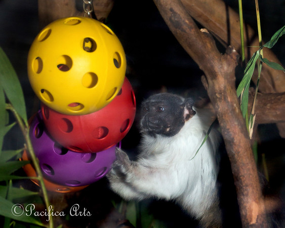 One of the Pied Tamarins, playing with the puzzle balls.