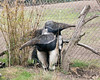 As big as he is, baby still hitches a ride on mom's back.  (Giant Anteaters)