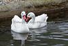 Coscoroba Swans, Bella & Odette.