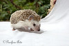 It doesn't get much cuter than this!  (African Hedgehog)