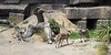 Three new brothers have come to the San Francisco Zoo!  They are Mexican Gray Wolves.  Here, Prince and Garcia greet each other on the right, while Bowie trots into the picture.