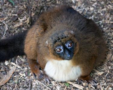 Adorable Winnebago!  (Red-bellied Lemur)