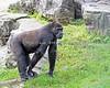 Eight year old Hasani, always watching (Western Lowland Gorilla)