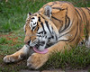 Time for a little washing up.  (Siberian Tiger)