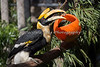 Hercules finds a meatball in his enrichment toy.  (Great Indian Hornbill)