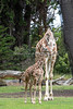 Barbro checks on her little daughter, Ingrid.  (Reticulated Giraffe)