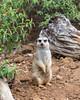 Female Slender-tailed Meerkat