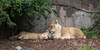 Mom and cub naptime.  (African Lions, Sukari & her cub)