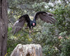 Monty, a Turkey Vulture, takes to the air during a free flight demonstration at the Wildlife Theater.