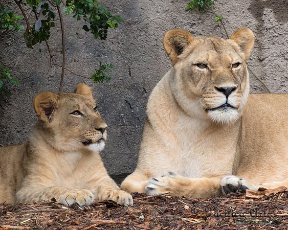 Yep, that's my mom!  (African Lions, Cubby & Sukari)